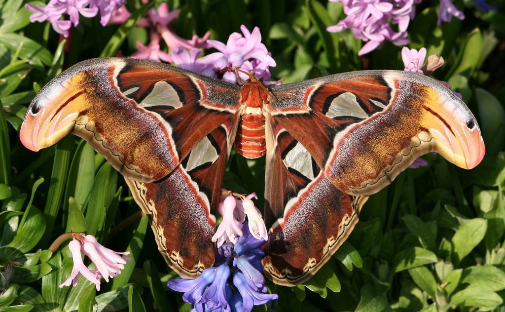 Atlas-moth-Attacus-atlas