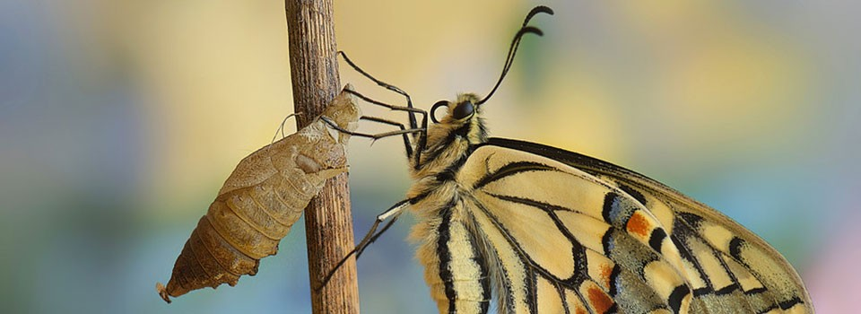 mariposa-capullo